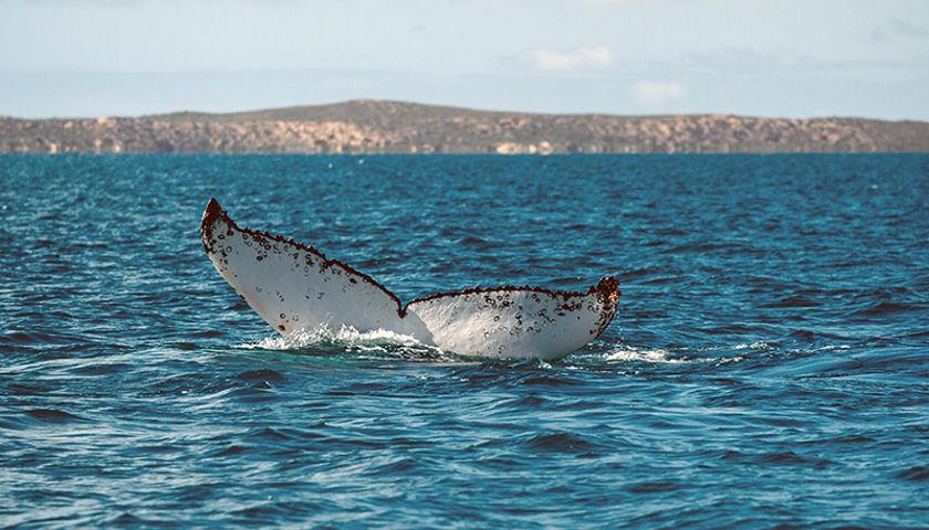 Humpback Whale Swims