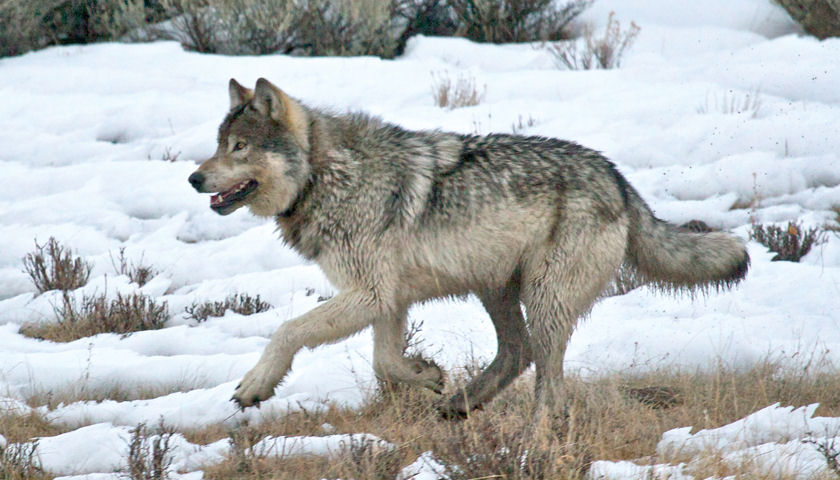 Winter Wolves of Yellowstone Expedition