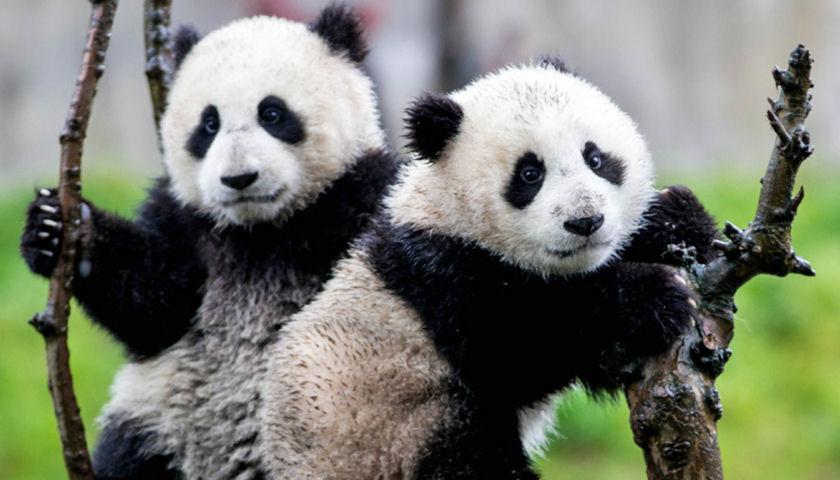 panda bear babies