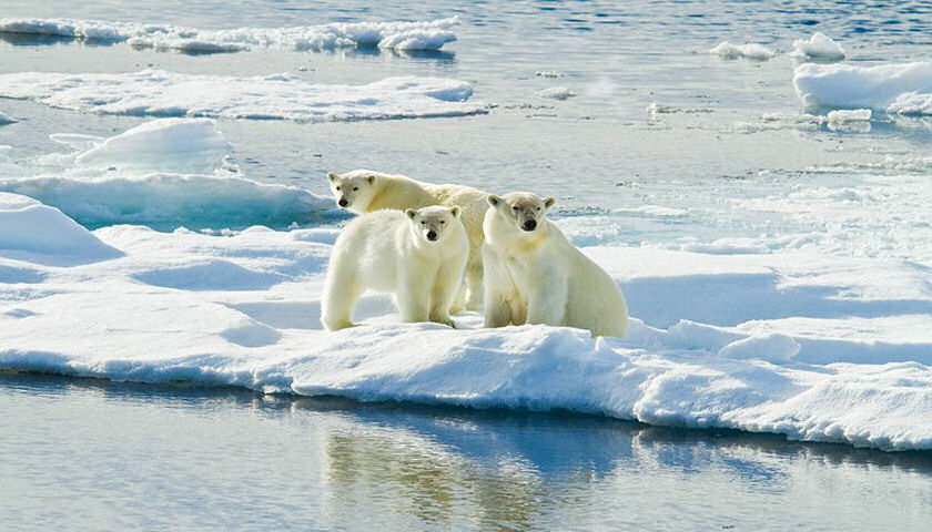 Arctic polar bears