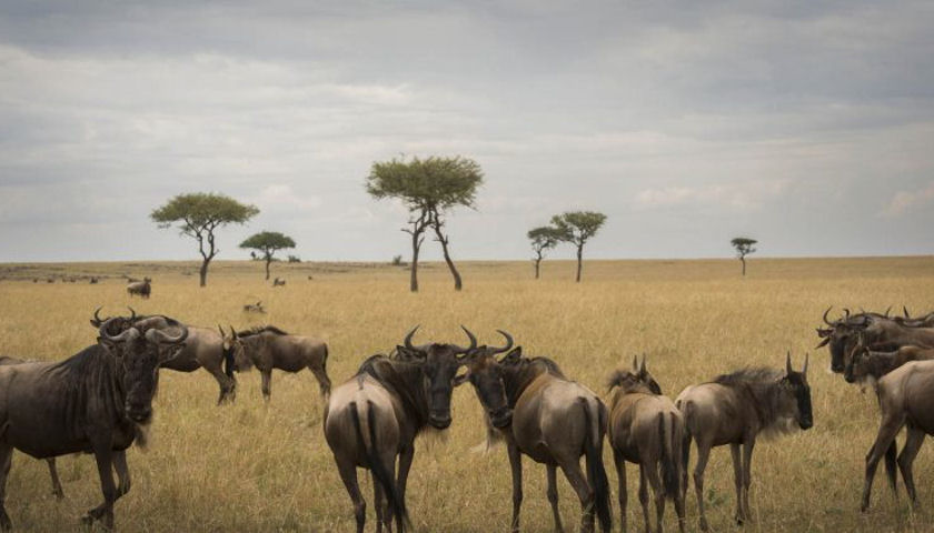 aardvark safaris wildebeest migration