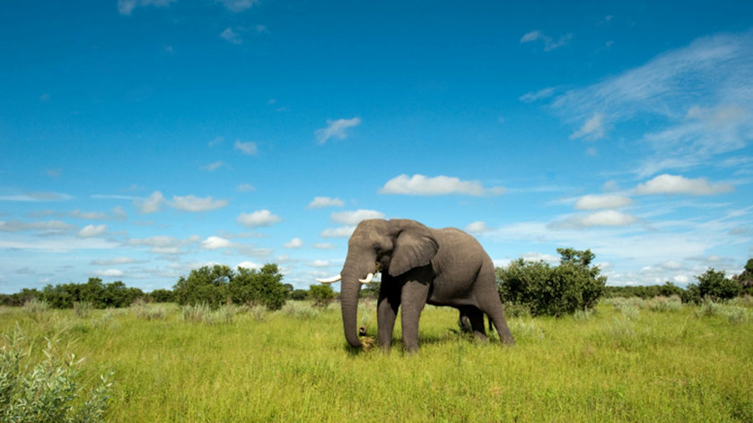 Elephant in the Botswana landscape