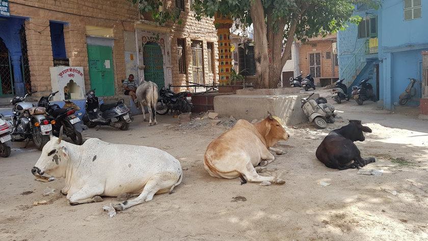 jaipur cows