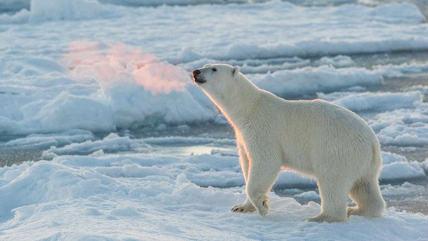 Off the Map Travel polar bears