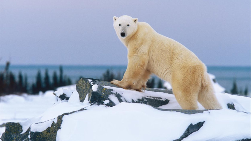 Polar Bears in a Changing Arctic