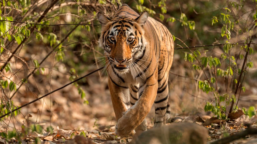 Bengal Tigers of South Asia