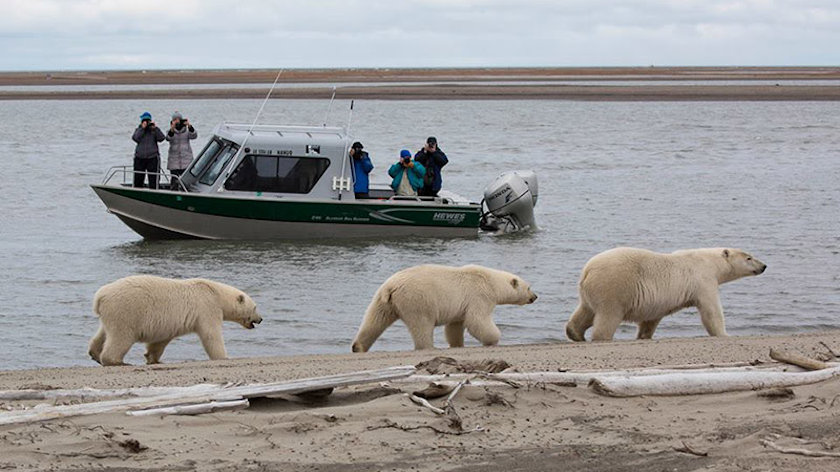 polar bears boat