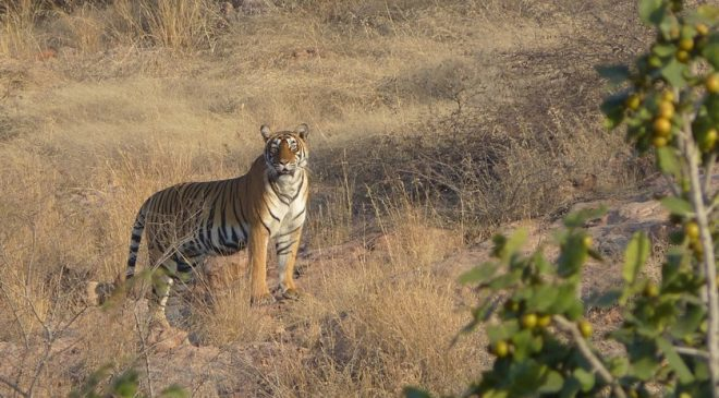 Join an Anti-poaching Team in India and Help Save Bengal Tigers