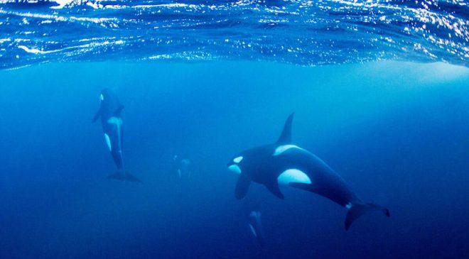 Swim with Orca in Lofoten, Norway